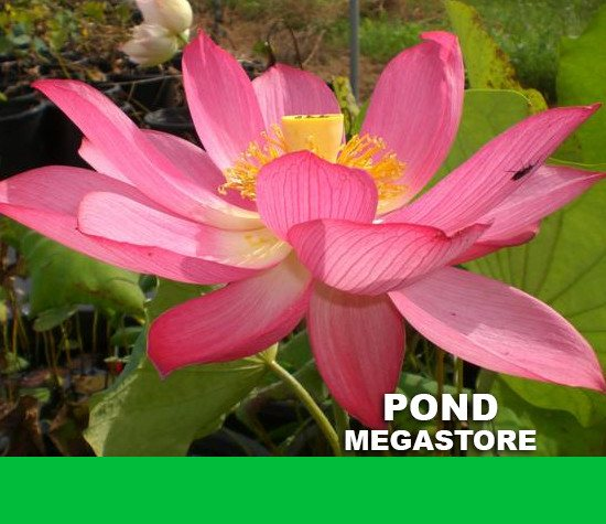 East Lake Pink Lotus - PondLotus.com
