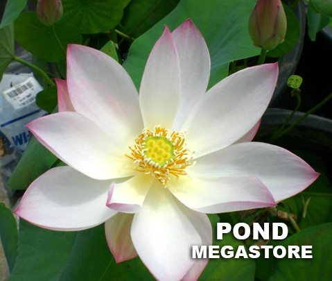 Embolene Lotus    <br>  Luminous Blooms! <br> Reserve Lotus Varieties ASAP for 2020! - PondLotus.com