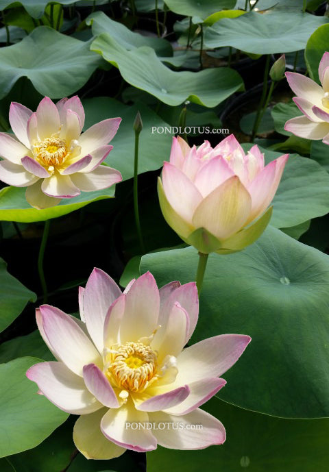 Evening Showers Lotus  <br>  Heavy Bloomer!  <br> Reserve Lotus Varieties ASAP for 2020! - PondLotus.com