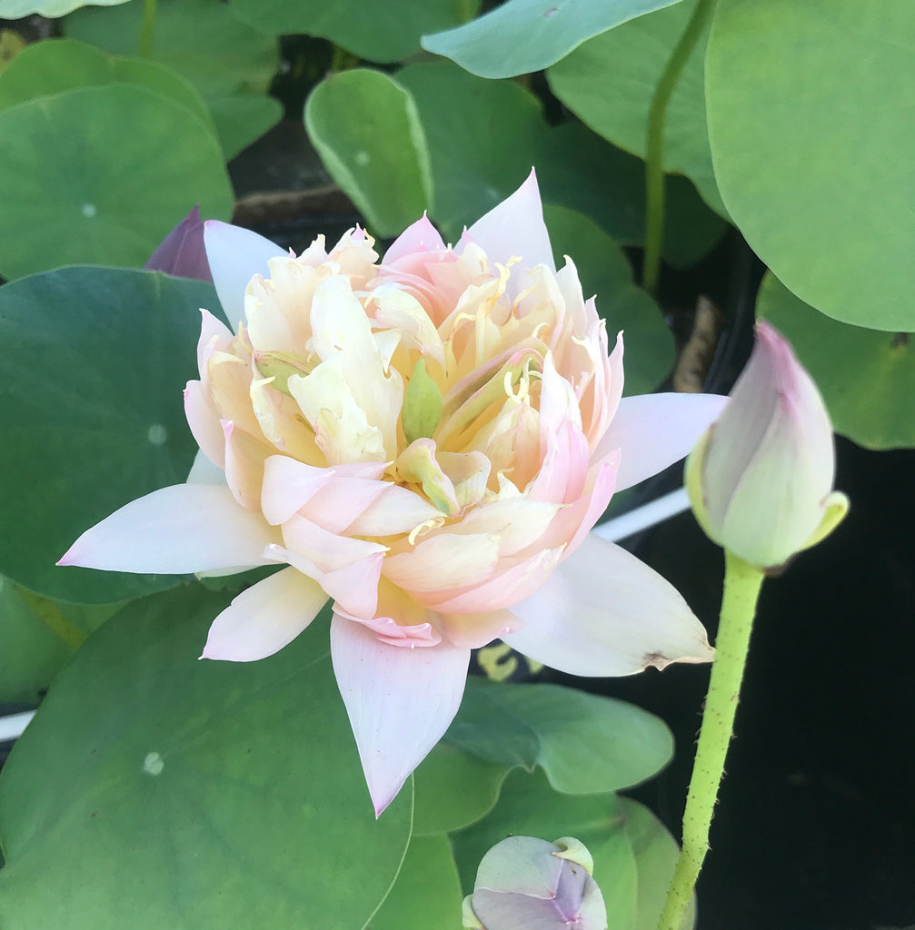 Feathered Skirt Lotus  <br>  Ballerina-Pink Blooms! <br> Reserve Lotus Varieties ASAP for 2021!