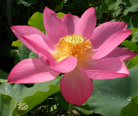 Flame Clouds Lotus  <br>  Beautiful Blooms! <br> Reserve Lotus Varieties ASAP for 2020! - PondLotus.com