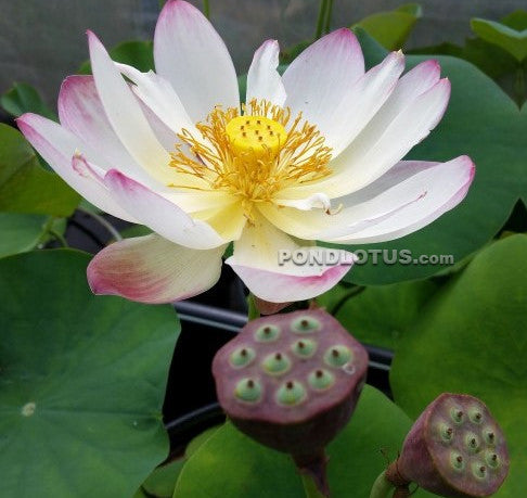 Pink and Gold  Lotus  <br> Reserve Lotus Varieties ASAP for 2020! - PondLotus.com