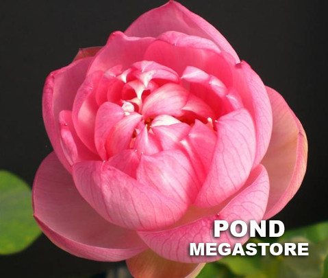 Glowing Clouds in Evening Lotus  <br>  Always a sellout! <br> Reserve Lotus Varieties ASAP for 2020! - PondLotus.com