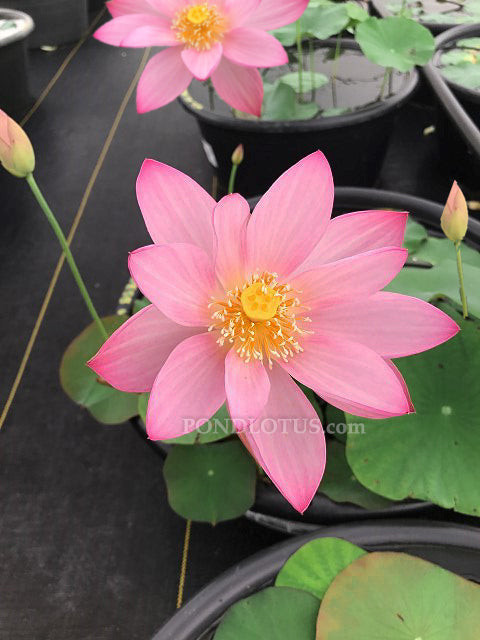 Goddess of Luo River 13 ( Luoshan 13)  <br> Reserve Lotus Varieties ASAP for 2020! - PondLotus.com
