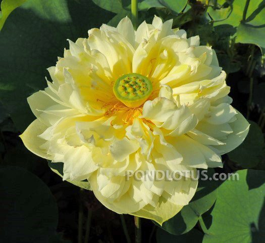 Golden Apple Yellow Lotus Ships Spring 2019 Pondlotuscom A Pond