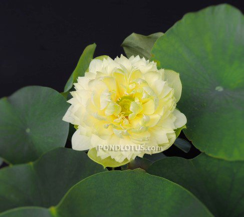 Golden Apple Yellow Lotus <br>  Heavy Bloomer! <br> Reserve Lotus Varieties ASAP for 2020! - PondLotus.com