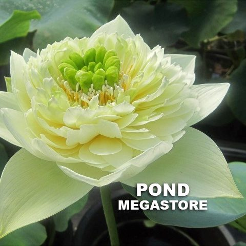 Golden Autumn Lotus <br>  Early Bloomer! <br> Reserve Lotus Varieties ASAP for 2020! - PondLotus.com