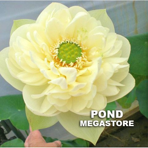 Golden Horse in Jade Palace Lotus  <br>  Frilly, Ruffled Petals! <br> Reserve Lotus Varieties ASAP for 2020! - PondLotus.com