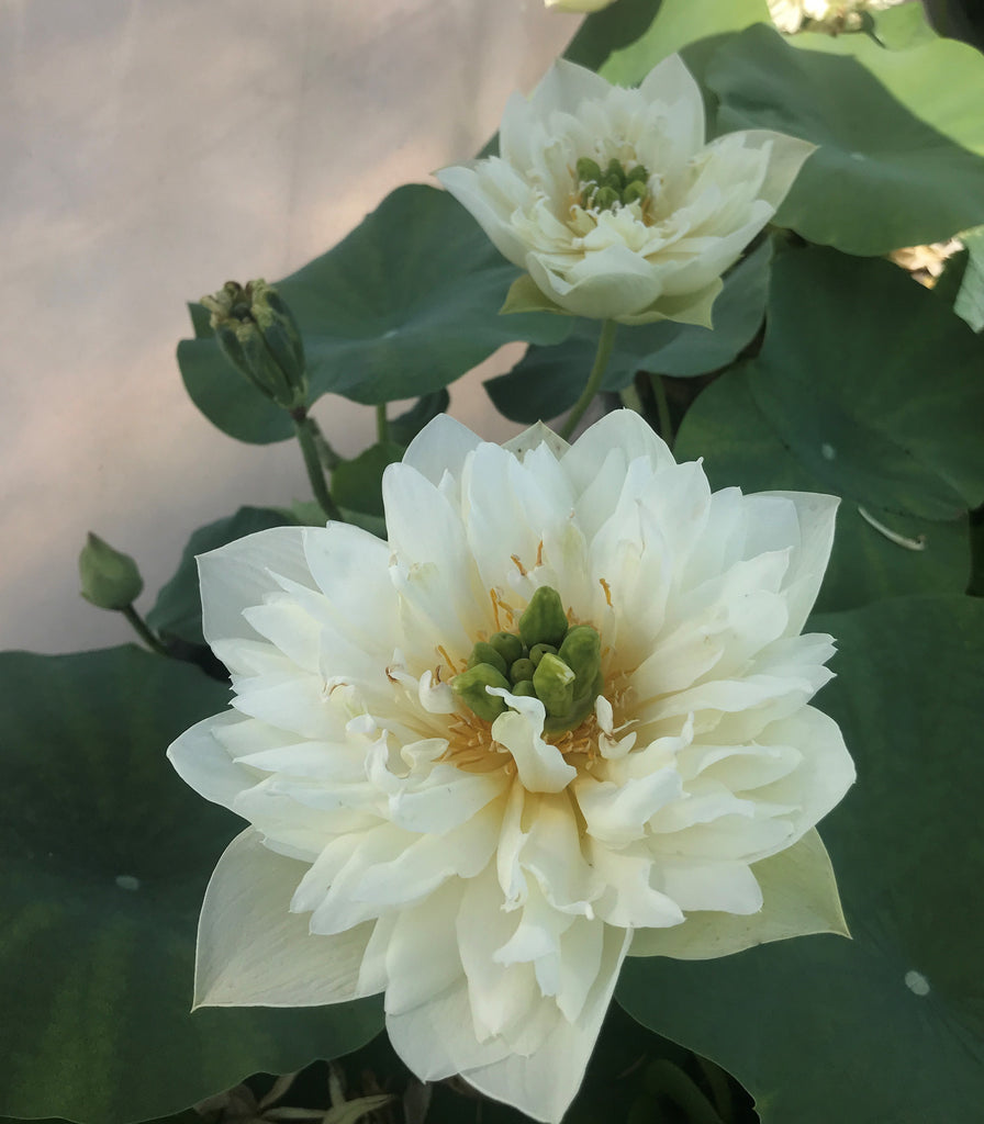 Green Cloud Lotus (Lu Yun)  <br>  Heavenly White Blooms! <br> Reserve Lotus Varieties ASAP for 2021!