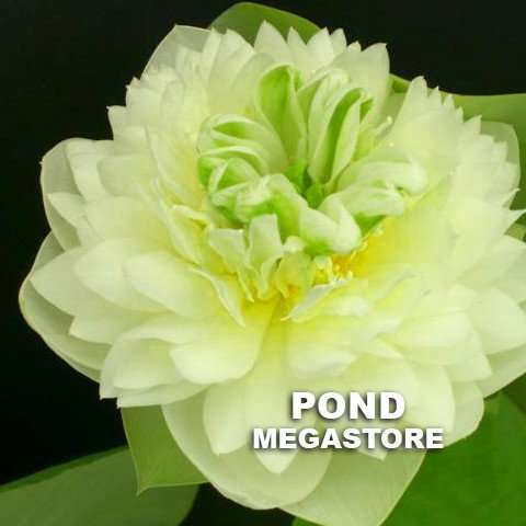 Green Clouds Lotus 13 B  <br>  Early Bloomer!  <br> Reserve Lotus Varieties ASAP for 2020! - PondLotus.com