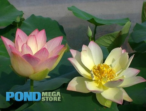 Green Maiden Lotus <br> Easy for beginners! <br> Reserve Lotus Varieties ASAP for 2020! - PondLotus.com