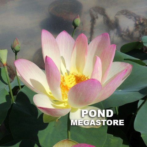 Hands Of The Goddess Of Mercy Lotus  <br> Reserve Lotus Varieties ASAP for 2020! - PondLotus.com