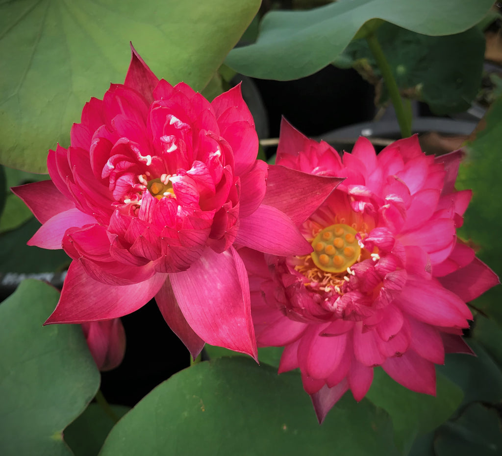 Gorgeous Lotus   <br>  Stunning Red Lotus Flowers <br> Reserve Lotus Varieties ASAP for 2020! - PondLotus.com