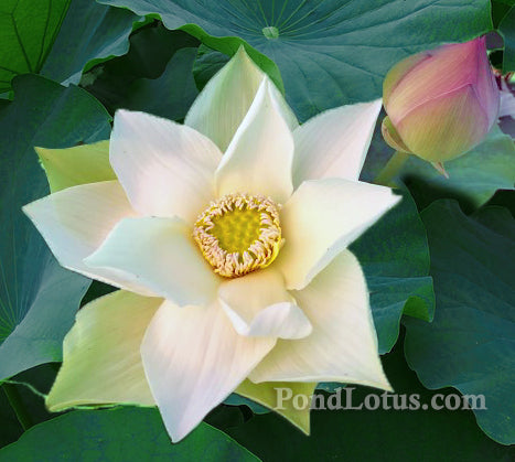 Hidden Beauty in the Gold House, New Lotus for 2018 - PondLotus.com