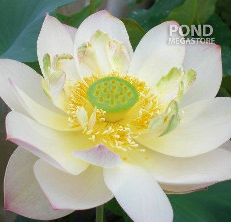 Highest Virtue Lotus (Guo Feng Liang Jie) - PondLotus.com