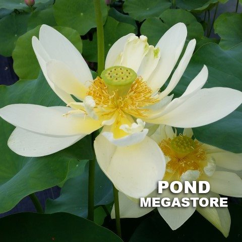 Hindu White Lotus  <br>  Wide Open Blooms!  <br> Reserve Lotus Varieties ASAP for 2020! - PondLotus.com
