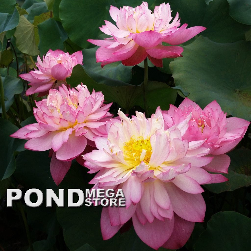 Holy Fire Lotus  <br>   Customer Favorite!  <br> Reserve Lotus Varieties ASAP for 2020! - PondLotus.com