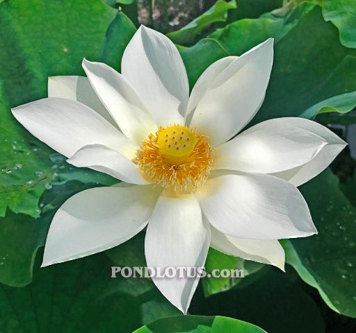Immaculate Lotus <br> Reserve Lotus Varieties ASAP for 2020! - PondLotus.com