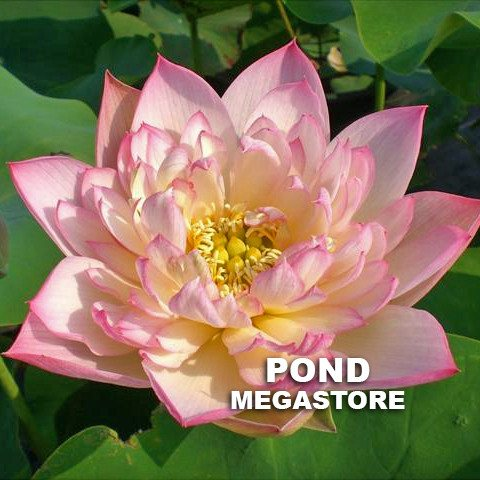 Imperial Concubine Out Of Bath Lotus <br> Reserve Lotus Varieties ASAP for 2020! - PondLotus.com
