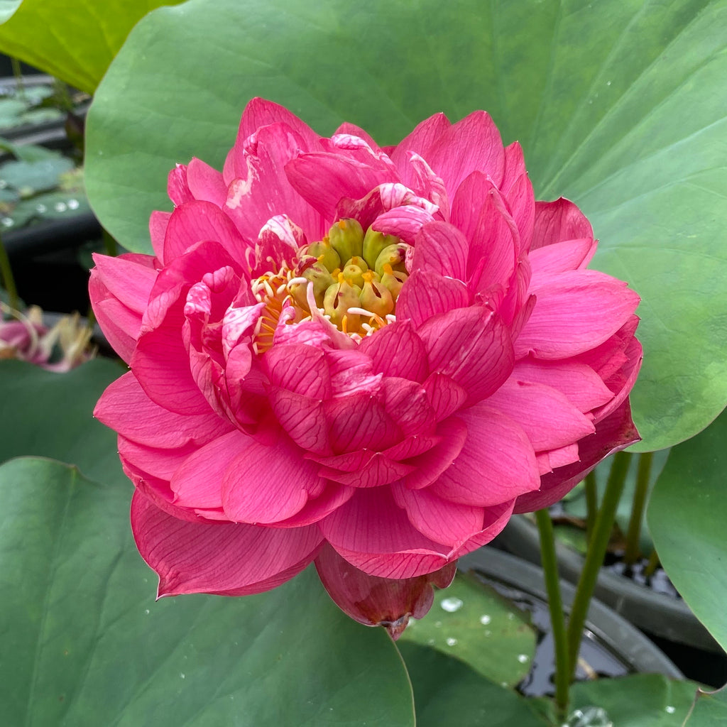 Impressions Of West Lake Lotus  <br>  Brilliant Red!   <br>   Reserve NOW for 2021!   <br>