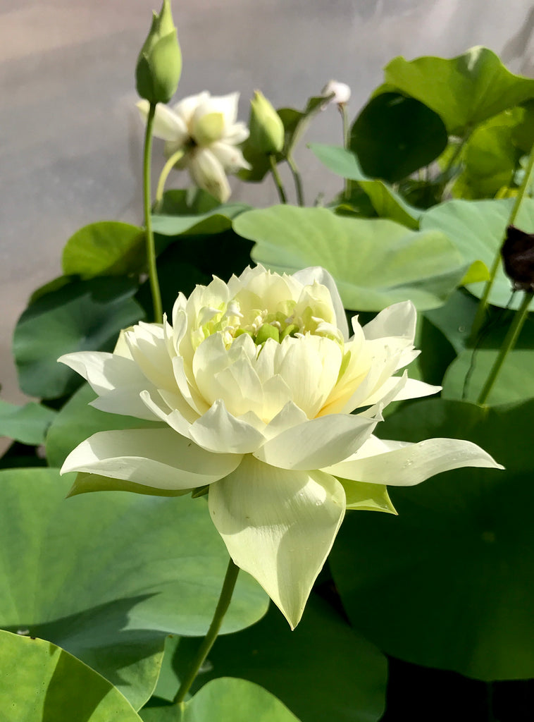 Jade Cloud Lotus  <br> Reserve Lotus Varieties ASAP for 2020! - PondLotus.com