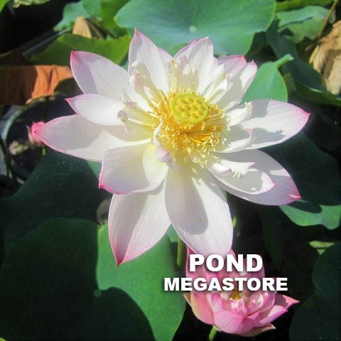 Dancing in Jade Tower-Micro  <br>  Blooms Early and Often! <br> Reserve Lotus Varieties ASAP for 2020! - PondLotus.com