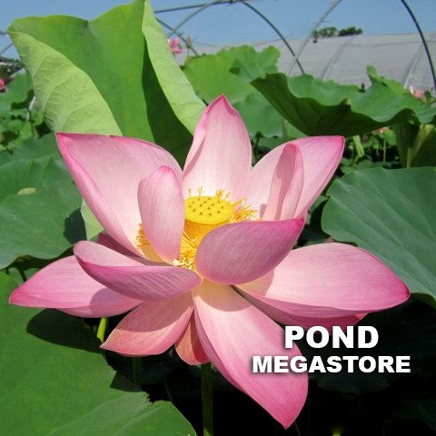 Jeannie's Smile Lotus <br>   Pink Power!  <br> Reserve Lotus Varieties ASAP for 2020! - PondLotus.com