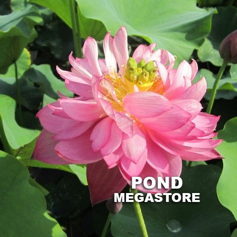 Jewel Flower Lotus  <br>  Heavy Bloomer! <br> Reserve Lotus Varieties ASAP for 2020! - PondLotus.com