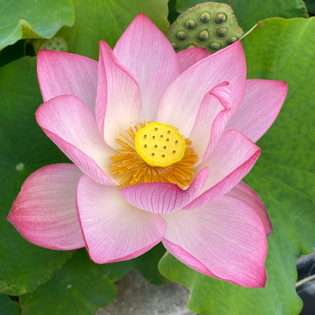 Jianxuan 17 Lotus  <br>  TOP SEED PRODUCER!  <br> Reserve Lotus Varieties ASAP for 2021!
