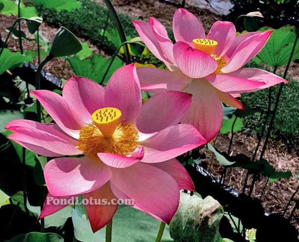 Jianxuan 17 Lotus  <br>  TOP SEED PRODUCER!  <br> Reserve Lotus Varieties ASAP for 2020! - PondLotus.com