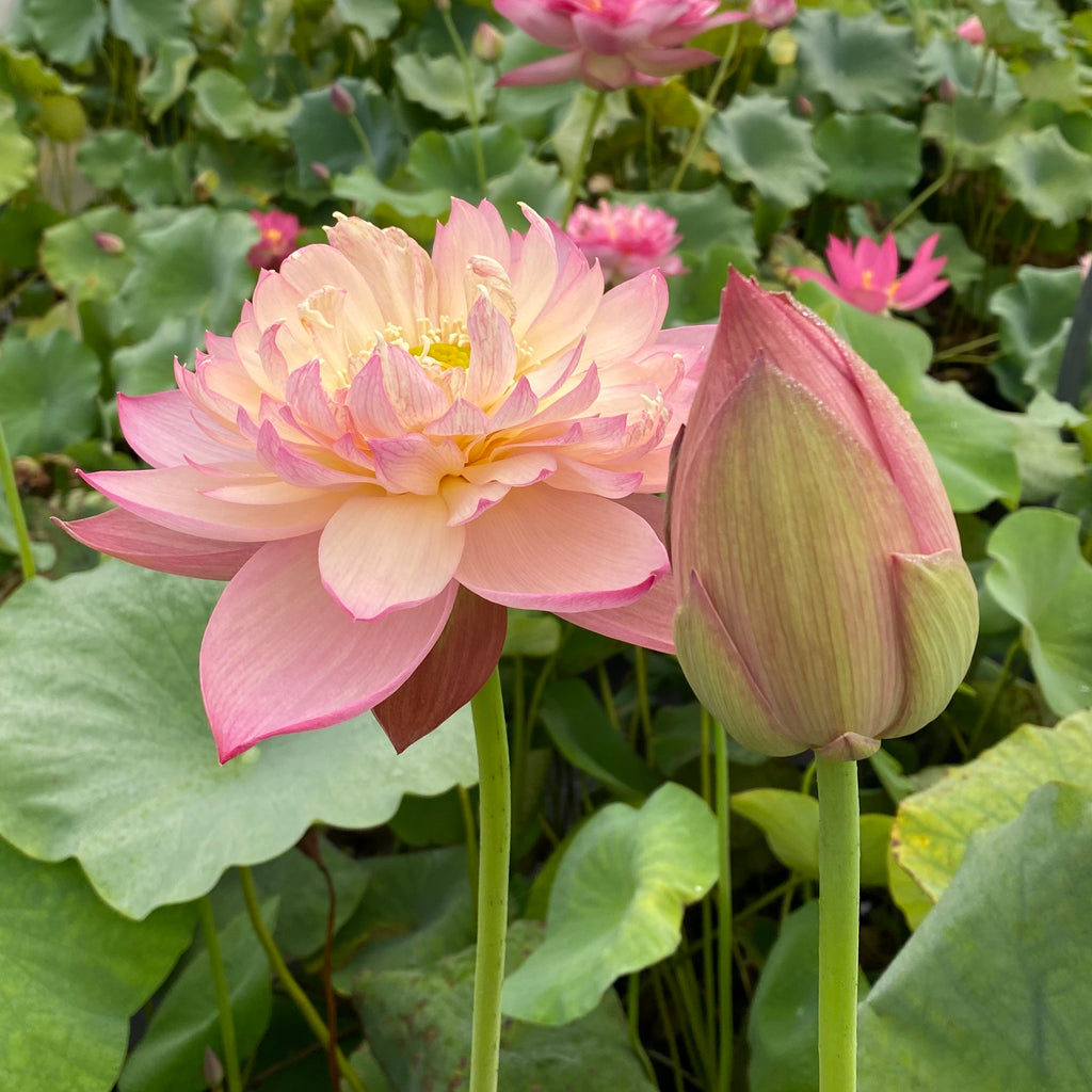 Jin Se Lotus <br> Top Choice for Heavy Blooming! <br> Reserve Lotus Varieties ASAP for 2021!