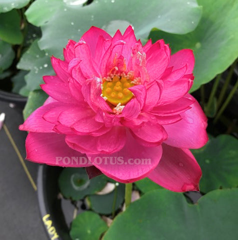 Lady Bingley Lotus  (Binglei furen)  <br>  Ruffled Petals!     <br> Reserve Lotus Varieties ASAP for 2020! - PondLotus.com