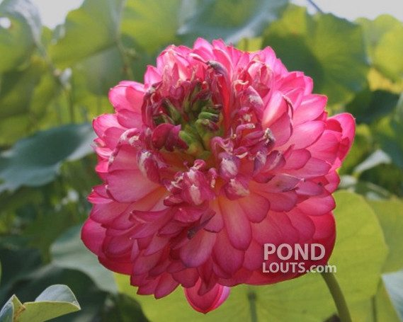 Lips Red Lotus  <br>  Curly, Ruffled Petals!  <br> Reserve Lotus Varieties ASAP for 2020! - PondLotus.com