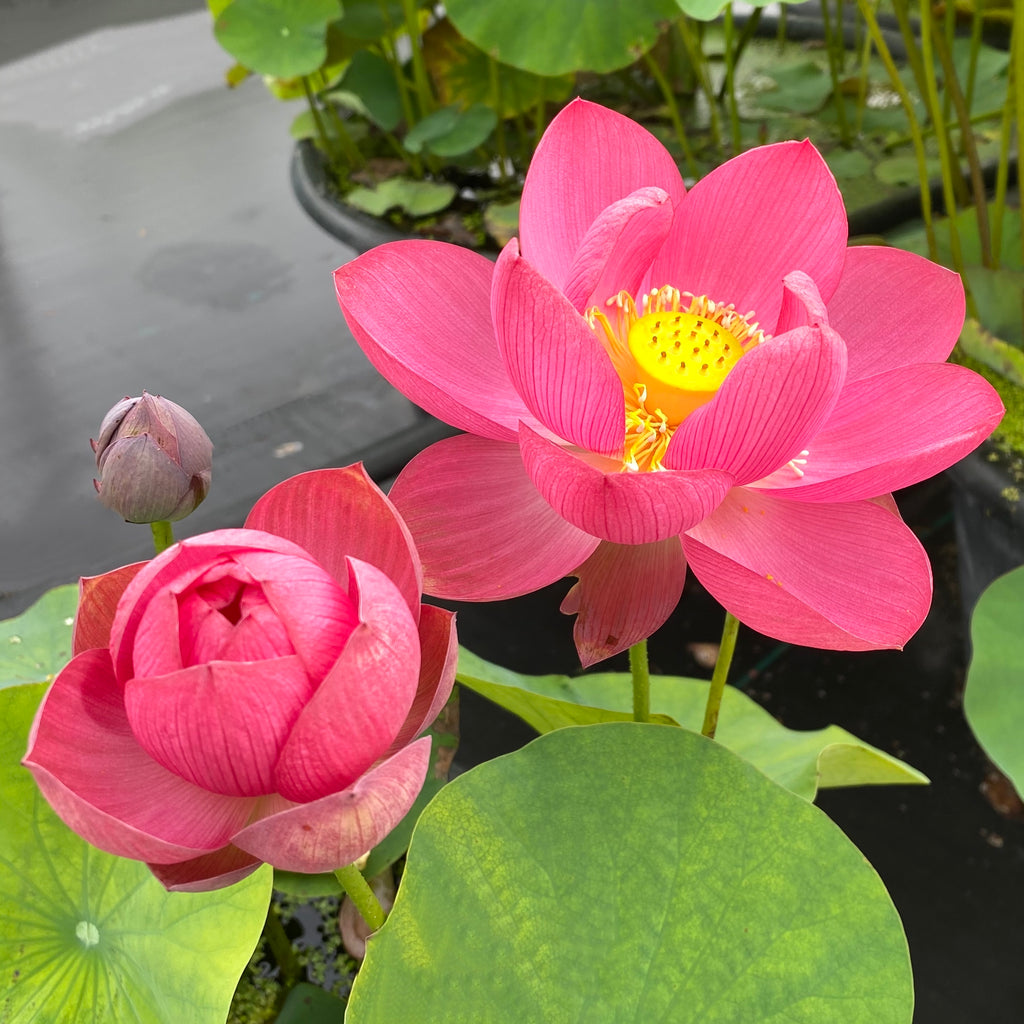 Little Longevity Star Lotus  (Xiao Shouxing)  <br>  Small Plant - BIG FLOWERS!!  <br> Reserve Lotus Varieties ASAP for 2021!
