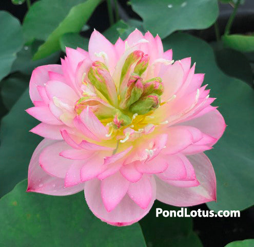 Little Dancing Empress  <br>  Heavy Bloomer and Early Bloomer!   <br> Reserve Lotus Varieties ASAP for 2020! - PondLotus.com