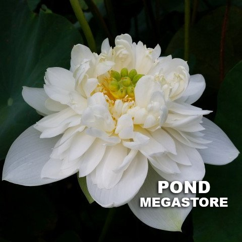 Little Green House Lotus (Xio Bitai)  <br>  White, Elegant Flowers!  <br> Reserve Lotus Varieties ASAP for 2020! - PondLotus.com
