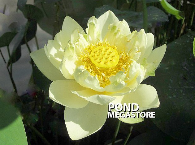 Little Oriole Lotus <br> Sold out for 2019 - PondLotus.com