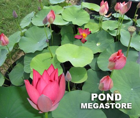 Little Red Missing Lotus  <br>   Brilliant Red & Heavy Bloomer!  <br> Reserve Lotus Varieties ASAP for 2020! - PondLotus.com