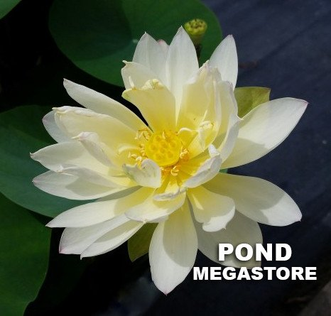 Little Tri-Color Lotus  <br>  Pretty Pastel Colors!  <br> Reserve Lotus Varieties ASAP for 2020! - PondLotus.com
