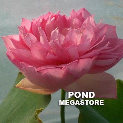 Zhaojun Look Back Shadow  <br> Reserve Lotus Varieties ASAP for 2020! - PondLotus.com