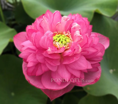 Serendipity Red Lotus   <br>  Early Bloomer! <br> Reserve Lotus Varieties ASAP for 2020! - PondLotus.com