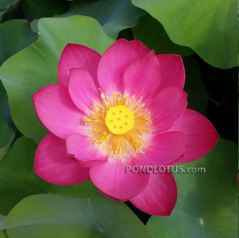 Magnificent Lotus <br> Reserve Lotus Varieties ASAP for 2020! - PondLotus.com