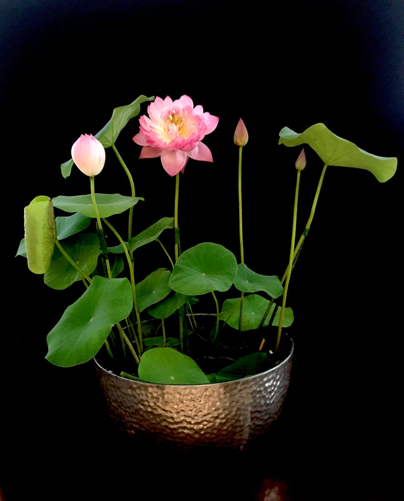 Mankala Pathum Lotus <br> Heavy bloomer & Easy for beginners! <br> Reserve Lotus Varieties ASAP for 2020! - PondLotus.com