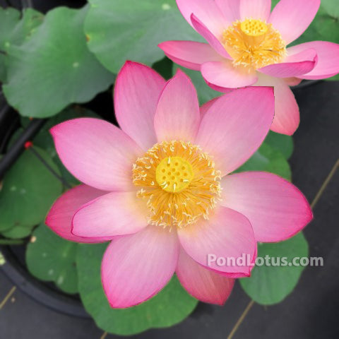 Morning at Yaochi Lotus  <br> Reserve Lotus Varieties ASAP for 2020! - PondLotus.com
