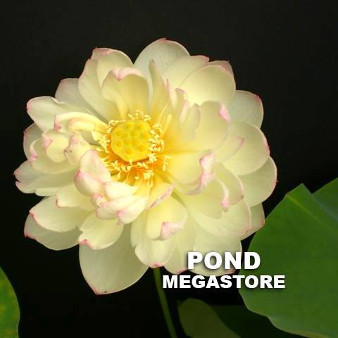 Olympic Lotus - PondLotus.com