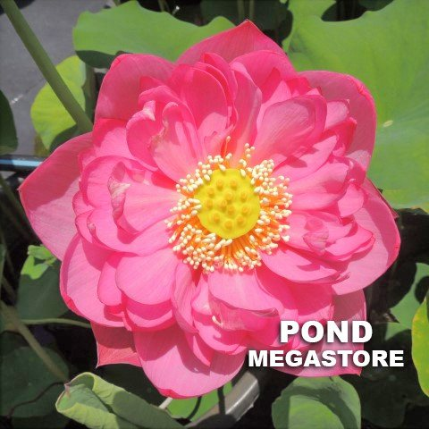OUTSTANDING TALENT LOTUS  <br>  Customer Favorite! <br> Reserve Lotus Varieties ASAP for 2020! - PondLotus.com