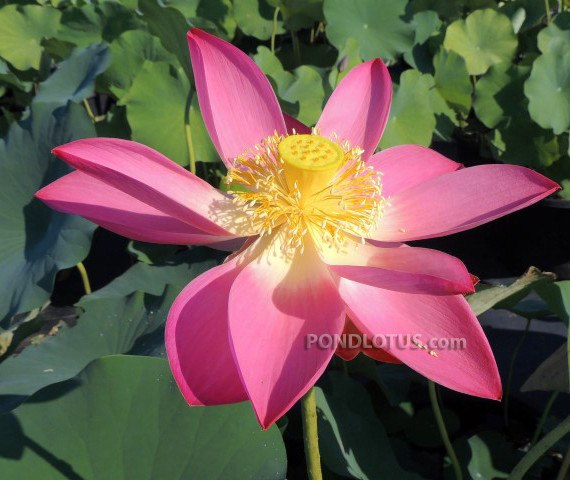 PEKINENSIS RUBRA LOTUS  <br>  Customer Favorite! <br> Reserve Lotus Varieties ASAP for 2020! - PondLotus.com