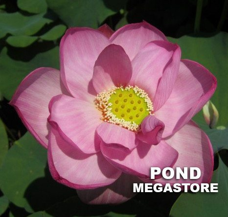 Peppermint Pink Lotus - PondLotus.com