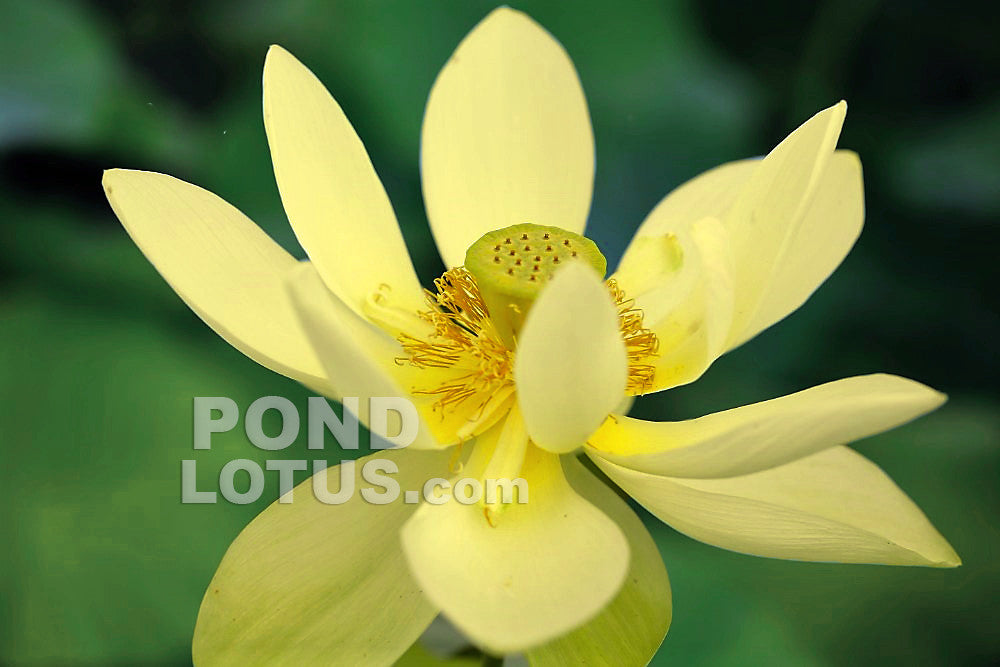 PERRY'S GIANT SUNBURST LOTUS  <br>  Sunny Yellow Blooms! <br> Reserve Lotus Varieties ASAP for 2020! - PondLotus.com