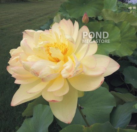 PERRY'S SUPER STAR LOTUS  <br>  Customer Favorite! <br> Reserve Lotus Varieties ASAP for 2020! - PondLotus.com